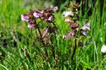 Marsh Lousewort - Red Rattle (Pedicularis palustris)